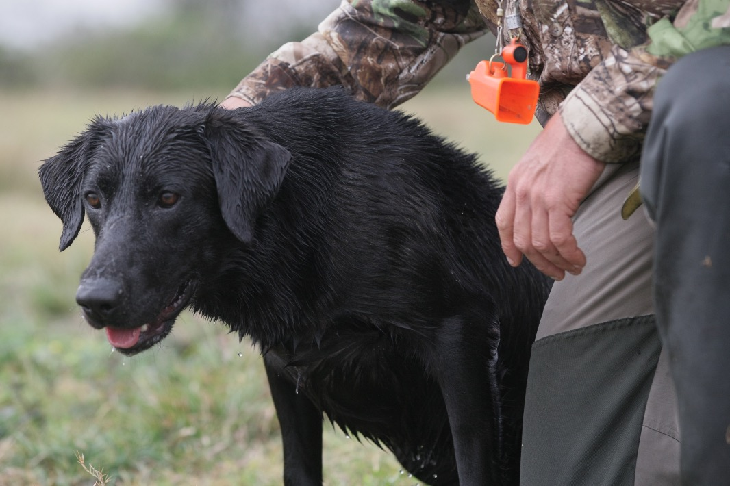 Trained Retriever for Sale - Coal - Duck Dog Trainer
