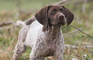 Hunting dogs hunting dogs for sale duck dog trainer
