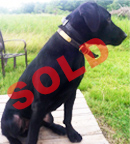 trained-retriever-for-sale-dru-sold