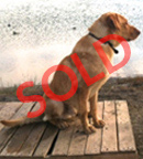 trained retriever for sale otis sold