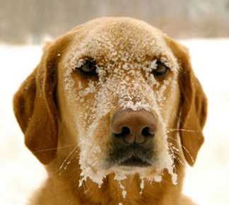 cold weather concerns for your duck dog