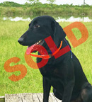 trained labs for sale