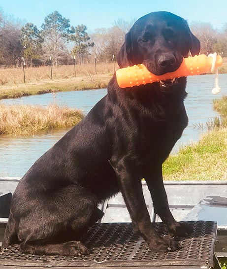 Trained Labs for Sale - Duck Dog Trainer